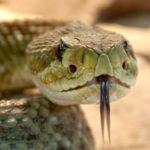 Schlangengift gegen Psoriasis - die eher ungewöhnliche Behandlungsmethode